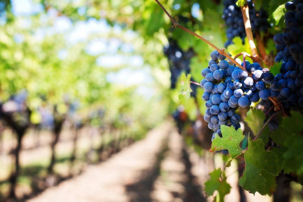 Barbatelle da vino vivaio Orosei