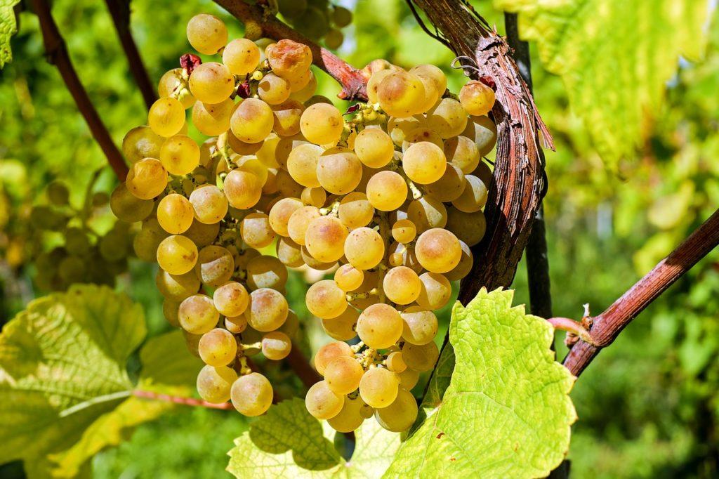 Barbatelle uva da tavola vivaio Orosei