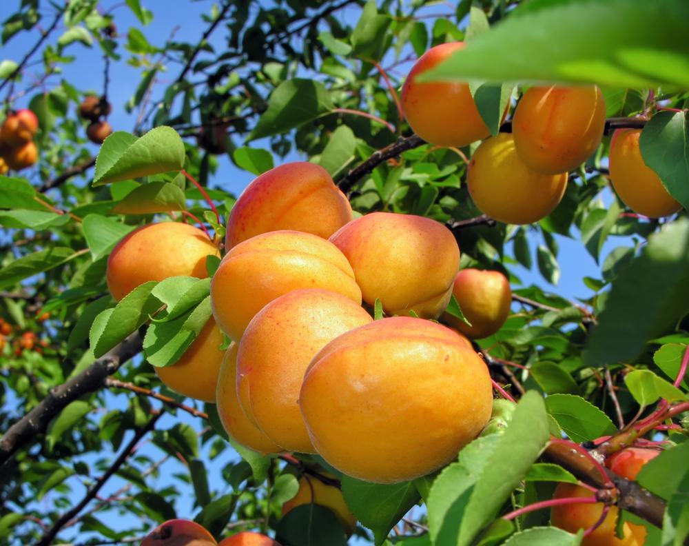 Piante da frutto maggiori