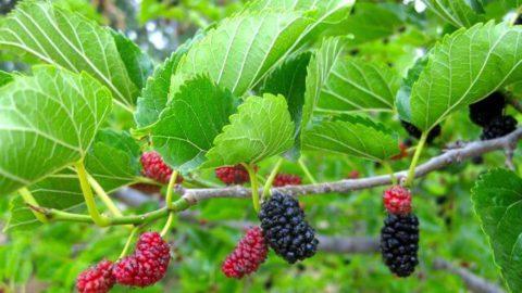 Piante da frutto minori