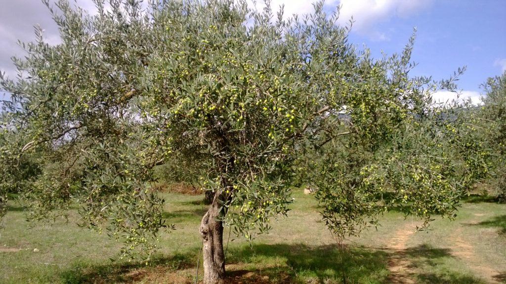 Piante di olivo vivaio Orosei