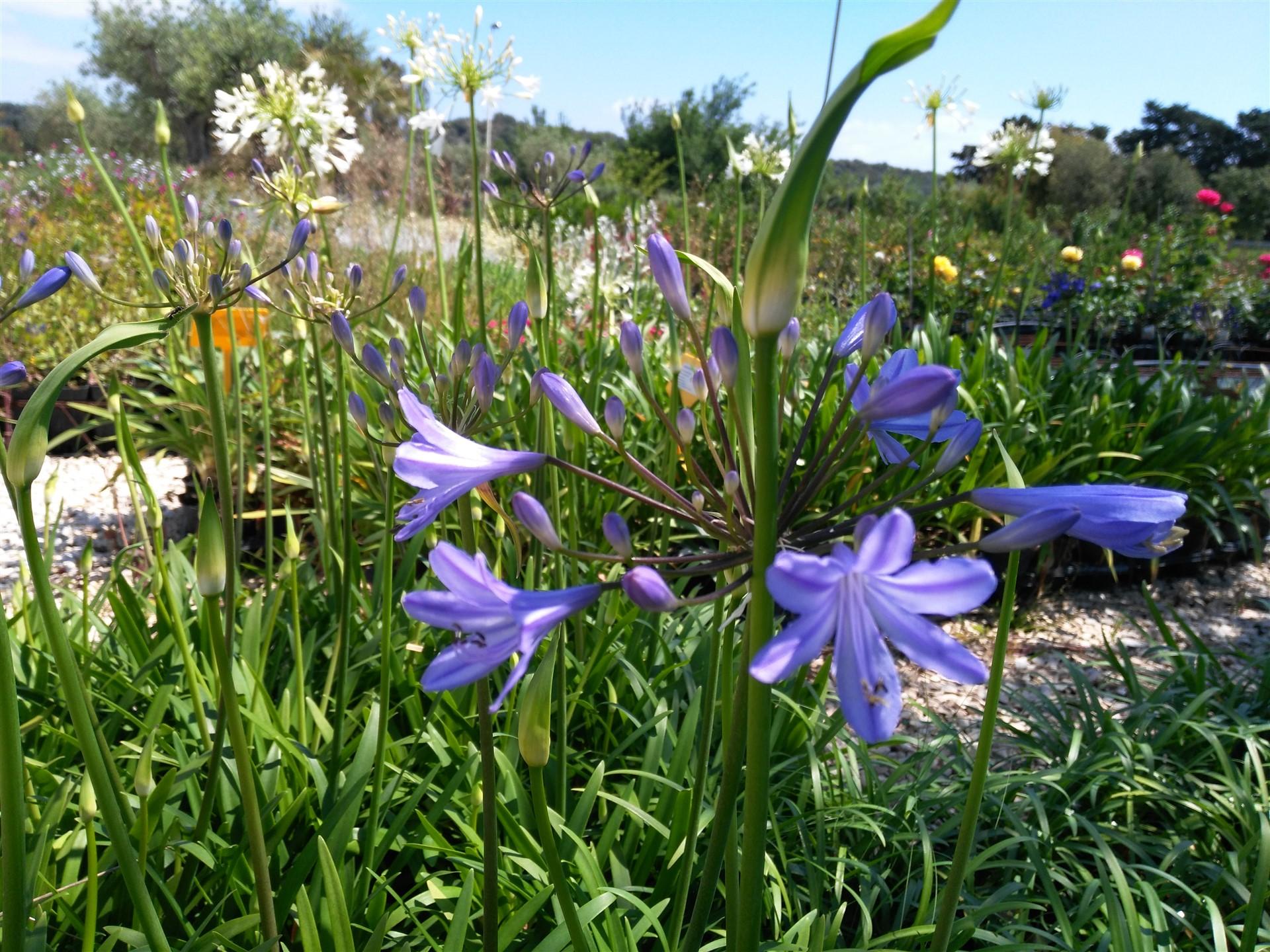 fiori agapanthus blu vivaio orosei